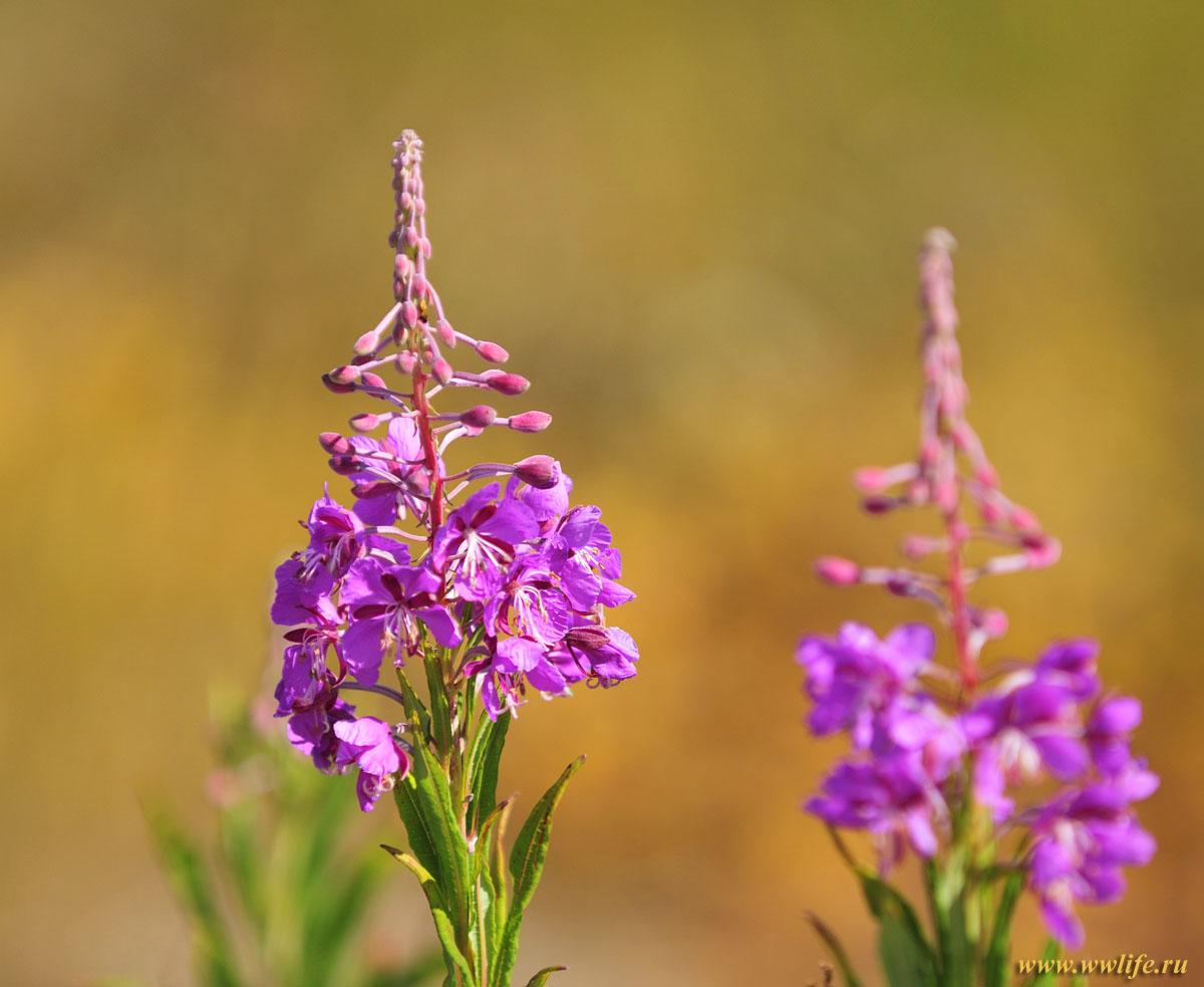 Что за цветок иван чай фото